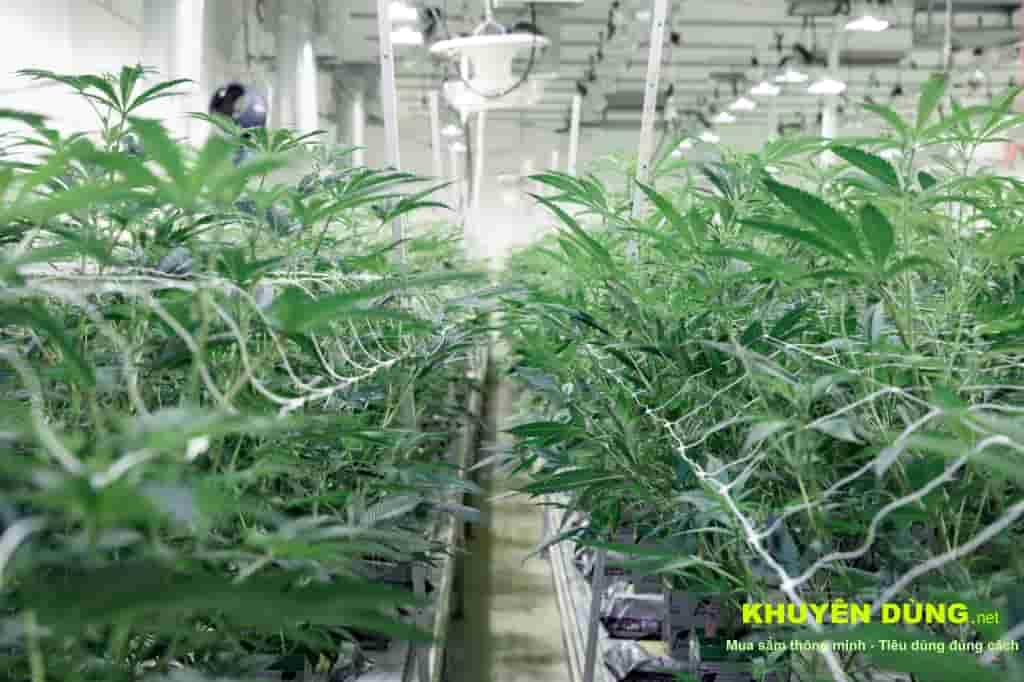 Tại sao CBG (Cannabigerol) là một trong những Cannabinoids đắt nhất để sản xuất 26
